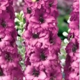 Дельфиниум гибридный Astolat (1 растение) описание, отзывы, характеристики