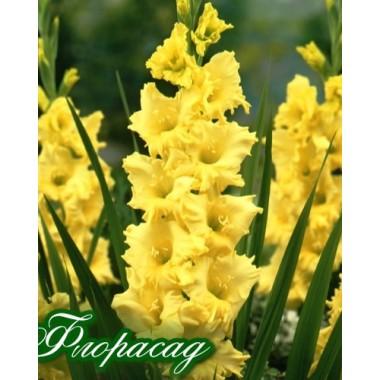 Гладиолус крупноцветковый Charisma (5 луковиц) описание, отзывы, характеристики