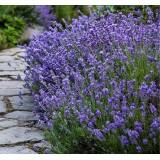 Лаванда вузьколиста Munstead (1 рослина) опис, характеристики, відгуки