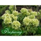 Морозник багатоквітковий Argutifolius (1 рослина) опис, характеристики, відгуки