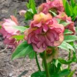 Морозник махровий Ellen Picotee (1 рослина) опис, характеристики, відгуки