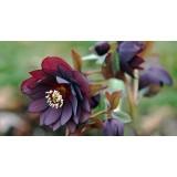 Морозник махровый Ellen Purple (1 растение) описание, отзывы, характеристики