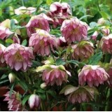 Морозник махровий Hybrids Pink Promise (1 рослина) опис, характеристики, відгуки