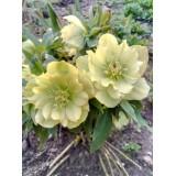 Морозник махровий White Promise (1 рослина) опис, характеристики, відгуки