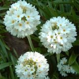 Примула denticulata Alba (1 растение) описание, отзывы, характеристики
