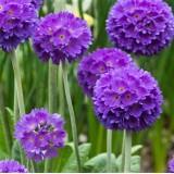 Примула denticulata Lilac (1 рослина) опис, характеристики, відгуки