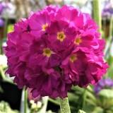 Примула denticulata Rubra (1 растение) описание, отзывы, характеристики
