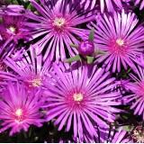 Делосперма Sundella Lavender (1 саженец) описание, отзывы, характеристики