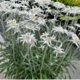 Едельвейс Альпійський Blossom of Snow (1 рослина) опис, характеристики, відгуки
