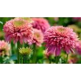 Эхинацея Pink Bonbon (1 растение) описание, отзывы, характеристики