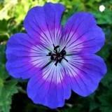 Герань Rise and Shine (1 рослина) опис, характеристики, відгуки