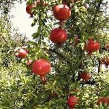 Гранат Гюлоша розовая (1 растение) описание, отзывы, характеристики