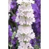 Лаванда вузьколиста Edelweiss (1 рослина) опис, характеристики, відгуки