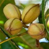 Горіх американський Пекан Barton (1 рослина) опис, характеристики, відгуки