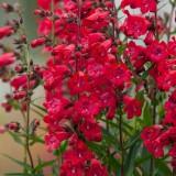 Пенстемон Harlequin Red (1 саджанець) опис, характеристики, відгуки
