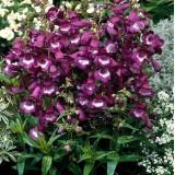 Пенстемон Purple Passion (1 саженец) описание, отзывы, характеристики