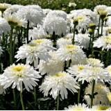 Ромашка хризантемовидная Fiona Coghill (1 растение) описание, отзывы, характеристики