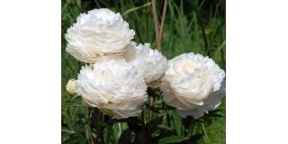 Рослини для створення ароматного саду
