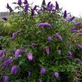 Буддлея Давида Black Knigt (1 растение) описание, отзывы, характеристики