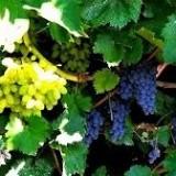 Виноград кишмиш Юпитер (1 саженец) описание, отзывы, характеристики
