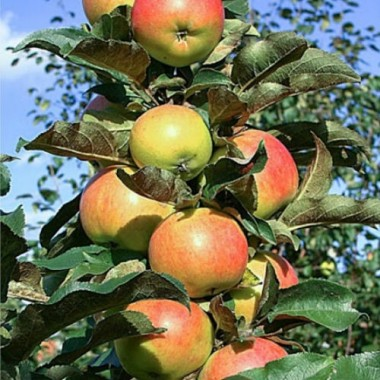 Яблуня колоновидна Останкіно (1 саджанець) опис, характеристики, відгуки