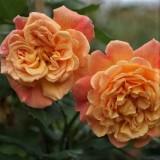Роза плетистая Алоха (1 саженец) описание, отзывы, характеристики