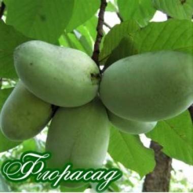 Азіміна трілоба Прима 1216 (бананове дерево) (1 саджанець) опис, характеристики, відгуки