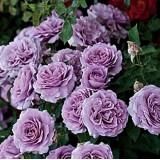 Роза плетистая Блю Мун (1 саженец) описание, отзывы, характеристики