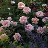 Роза чайно-гибридная Aphrodite (1 саженец) описание, отзывы, характеристики