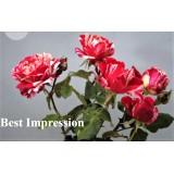 Роза чайно-гибридная Best Impression (1 саженец) описание, отзывы, характеристики