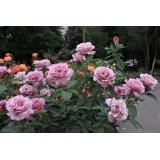 Троянда чайно-гібридна Cool Water (1 саджанець) опис, характеристики, відгуки
