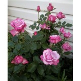 Роза чайно-гибридная Deep Purple (1 саженец) описание, отзывы, характеристики