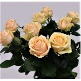 Троянда чайно-гібридна Peach Avalange (1 саджанець) опис, характеристики, відгуки