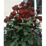 Роза чайно-гибридная Black Magic (1 саженец) описание, отзывы, характеристики