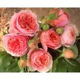 Троянда англійська Chippendale (1 саджанець) опис, характеристики, відгуки