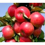 Яблуня колоновидна Джин (КВ-5) (1 саджанець) опис, характеристики, відгуки