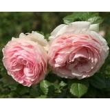 Роза английская Eden (1 саженец) описание, отзывы, характеристики