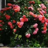 Роза флорибунда Gebruder Grimm (1 саженец) описание, отзывы, характеристики