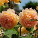 Роза английская Golden Celebration (1 саженец) описание, отзывы, характеристики