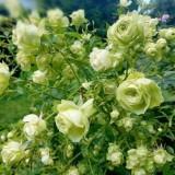 Роза флорибунда Lovely Green (1 саженец) описание, отзывы, характеристики