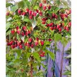 Малина штамбова (малинове дерево) безшипна Здоровань (1 саджанець) опис, характеристики, відгуки