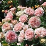 Троянда півонієвидна Д. Остіна Mariatheresia  (1 саджанець) опис, характеристики, відгуки