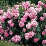 Роза пионовидная Д. Остина Constance (1 саженец) описание, отзывы, характеристики