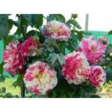 Троянда плетиста Ваниль Фрейз опис, характеристики, відгуки