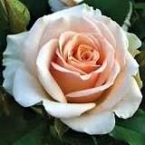 Роза спрей Ильза (1 саженец) описание, отзывы, характеристики