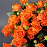Троянда спрей Ільза (1 саджанець) опис, характеристики, відгуки