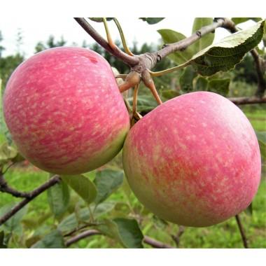 Яблуня осіння Слава Переможцям (1 саджанець) опис, характеристики, відгуки