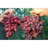 Виноград Дубовський рожевий (1 саджанець) опис, характеристики, відгуки
