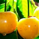 Вишня Желтая дюк (1 саженец) описание, отзывы, характеристики