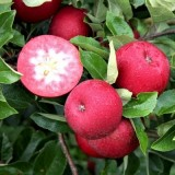 Яблуня червоном'яса Джероміні (1 саджанець) опис, характеристики, відгуки